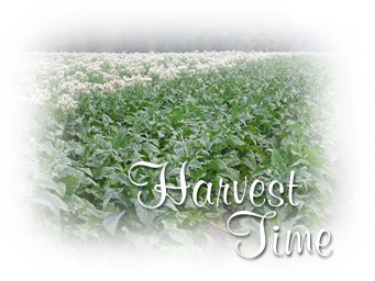 Harvest Time In the Tobacco Fields